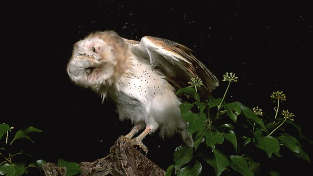 ms slo mo shot of barn owl shaking wings and head / vieux pont en auge, normandy, france - head stock videos & royalty-free footage
