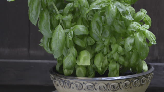 tu shot of basil in flower pot ( ocimum ) - plant pot stock videos & royalty-free footage