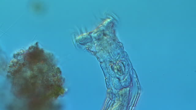 ecu shot of bdelloidea is class of rotifers found in fresh water and moist soil which typically have well developed corona, genus philodina here filter feeding for bacteria and small algal cells / newcastle emlyn, ceredigion, united kingdom  - microbiology stock-videos und b-roll-filmmaterial