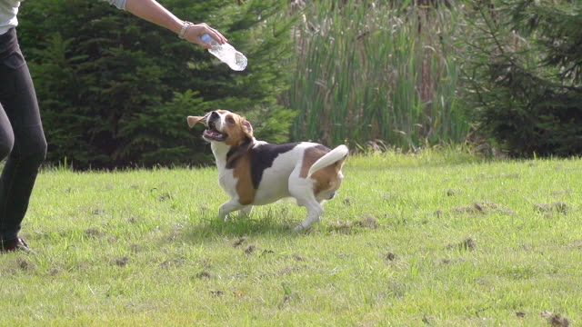 MS TS SLO MO Shot of Beagle dog, young playing with Plastic Bottle of water / Calvados, Normandy, France