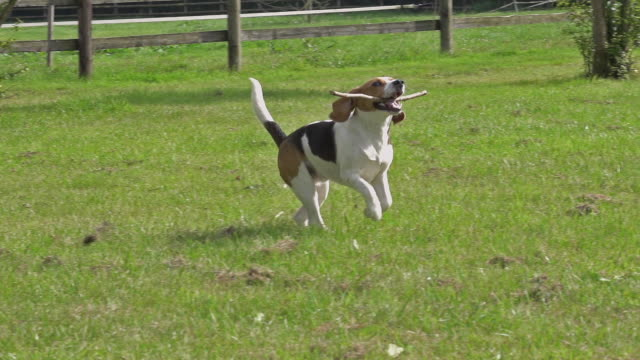 vídeos y material grabado en eventos de stock de ms ts slo mo shot of beagle dog, young playing with stick of wood in its mouth and running on grass / calvados, normandy, france - palo parte de planta