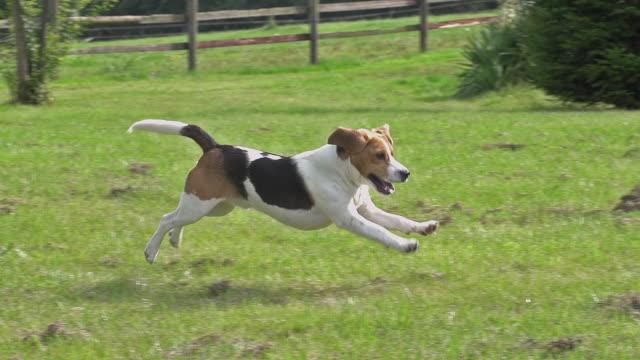 ms ts slo mo shot of beagle dog, young running on grass / calvados, normandy, france - beagle stock videos & royalty-free footage