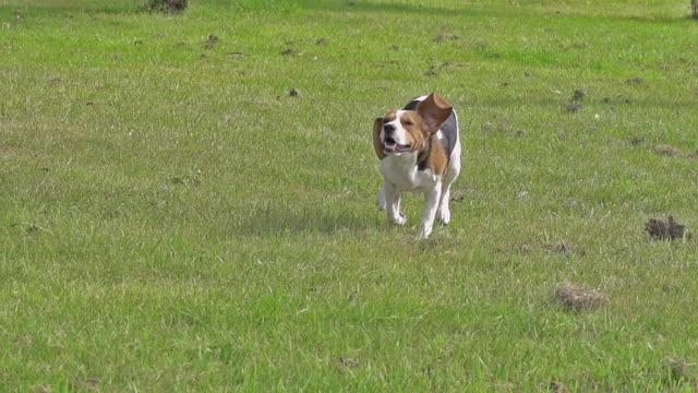 vídeos y material grabado en eventos de stock de ms ts slo mo shot of beagle dog, young running on grass / calvados, normandy, france - perro cazador