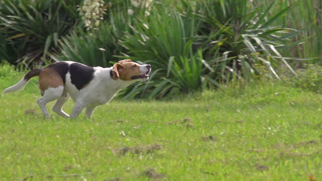 MS TS SLO MO Shot of Beagle dog, young running on grass / Calvados, Normandy, France