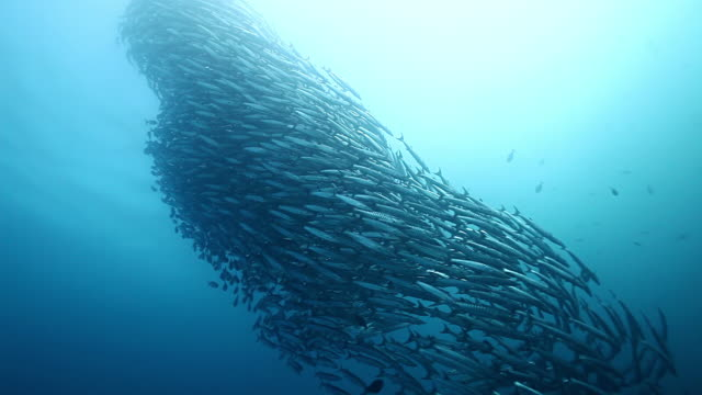 MS TD Shot of Beautiful schooling barracuda vortex formation swimming / Sipadan, Semporna, Tawau, Malaysia