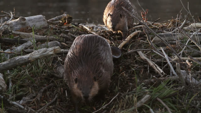 ts  4k shot of beaver (castor canadensis) crossing over a dam - beaver stock videos & royalty-free footage