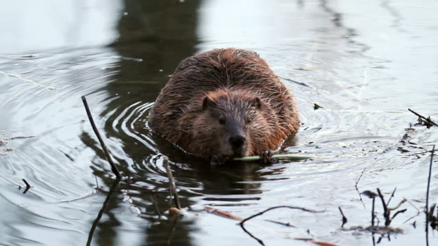 vídeos de stock e filmes b-roll de cu shot of beaver eating in pond / tetons, wyoming, united states - castor roedor