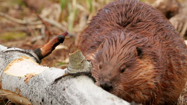vídeos de stock e filmes b-roll de cu shot of beaver eating near tree bark / tetons, wyoming, united states - castor roedor