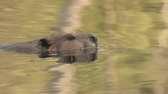 cu ts shot of beaver swimming / tweed, ontario, canada - beaver stock videos & royalty-free footage