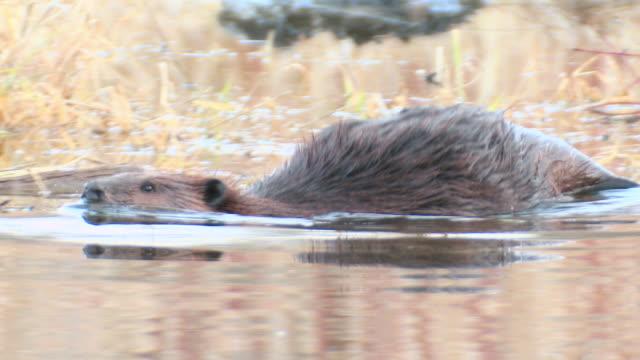 MS TS Shot of Beaver swimming / Tweed, Ontario, Canada