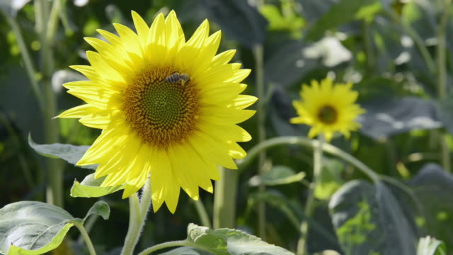 CU Shot of Bee on Sunflower / Landshut, Bavaria, Germany