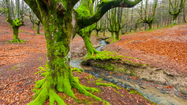 MS T/L Shot of Beech forest at Gorbeia Natural Park / Gorbeia, Alava   Bizkaia, Spain