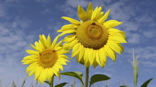 cu shot of bees on sunflowers / landshut, bavaria, germany    - staubblatt stock-videos und b-roll-filmmaterial