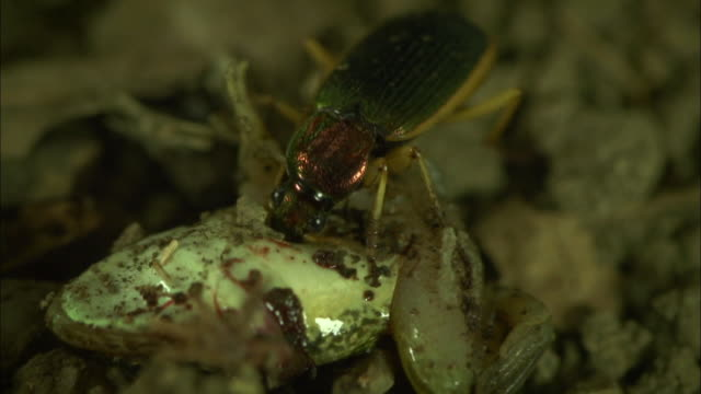 shot of beetles (anoplogenius cyanescens) eating live frog - south korea stock videos & royalty-free footage