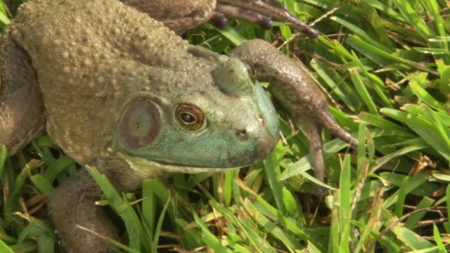 vídeos de stock e filmes b-roll de cu pan zi shot of big bullfrog sitting on lawn during rayne frog festival / rayne, louisiana, united states - nariz de animal