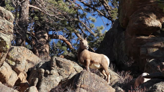 ms ts shot of bighorn ewes and lambs moving on rock ledge / estes park, colorado, united states - mutterschaf stock-videos und b-roll-filmmaterial