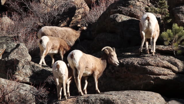 ms pan tu shot of bighorn ewes and lambs moving on rock ledge / estes park, colorado, united states - medium group of animals stock videos & royalty-free footage