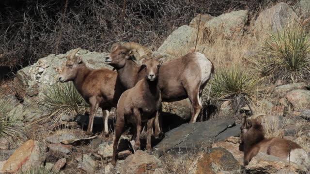 ms shot of bighorn ram with ewes on hillside / golden, colorado, united states - mutterschaf stock-videos und b-roll-filmmaterial