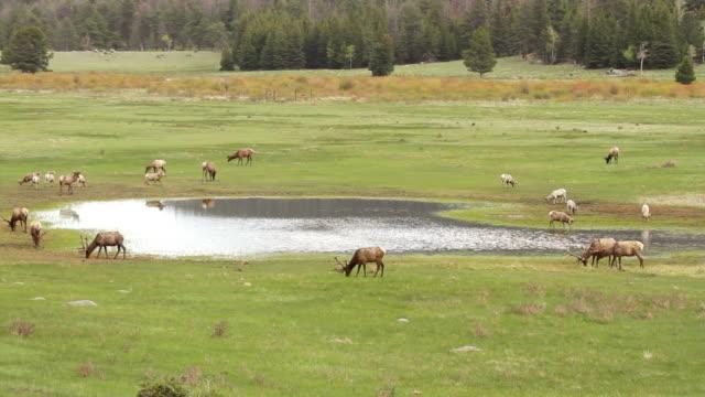stockvideo's en b-roll-footage met ms shot of bighorn rams and bull elk grazing at pond / estes park, colorado, united states - estes park