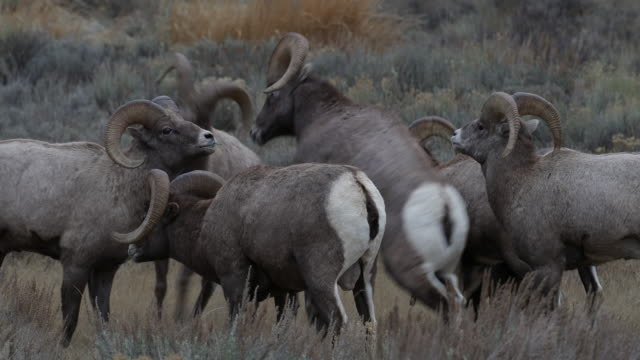 MS  4K shot of bighorn rams butting heads (Ovis canadensis) during the rut