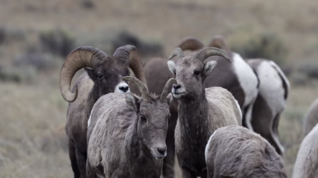 ms  4k shot of bighorn rams (ovis canadensis) chasing ewes during the rut - mutterschaf stock-videos und b-roll-filmmaterial