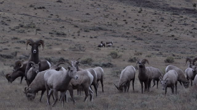 ws  shot of bighorn rams (ovis canadensis) chasing ewes during the rut - mutterschaf stock-videos und b-roll-filmmaterial