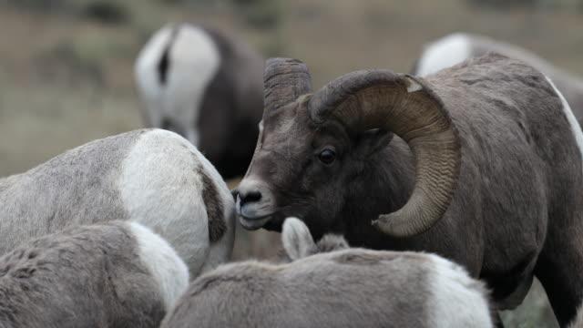 vidéos et rushes de ts  4k shot of bighorn rams (ovis canadensis) chasing ewes during the rut - animaux à l'état sauvage