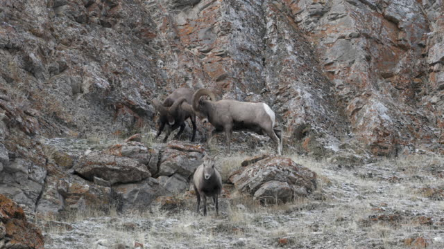 MS  4K shot of bighorn rams (Ovis canadensis) mating,headbutting and chasing a ewe during the rut