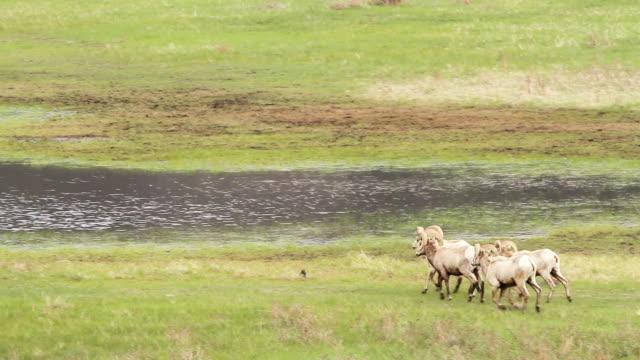 stockvideo's en b-roll-footage met ms ts shot of bighorn rams running toward pond / estes park, colorado, united states - estes park