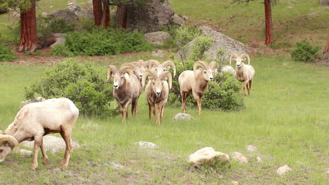 MS Shot of Bighorn rams walk into camera lens / Estes Park, Colorado, United States