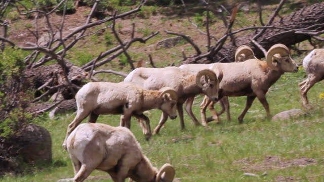 stockvideo's en b-roll-footage met ms ts shot of bighorn rams walking on hillside / estes park, colorado, united states - estes park