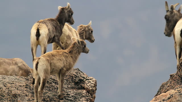 MS  shot of bighorn sheep lambs (Ovis canadensis) jumping on top of the mountain