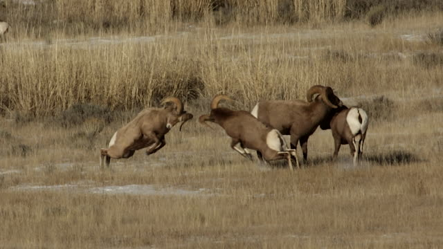 ws  shot of bighorn sheep rams (ovis canadensis) head butting during the december rut - small group of animals stock videos & royalty-free footage