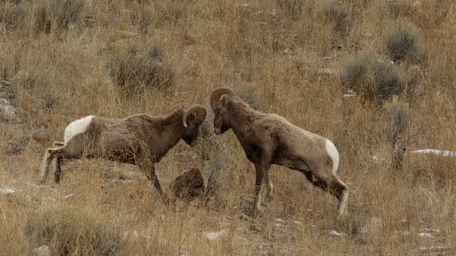 ms  shot of bighorn sheep rams (ovis canadensis) head butting during the december rut - montagne rocciose video stock e b–roll