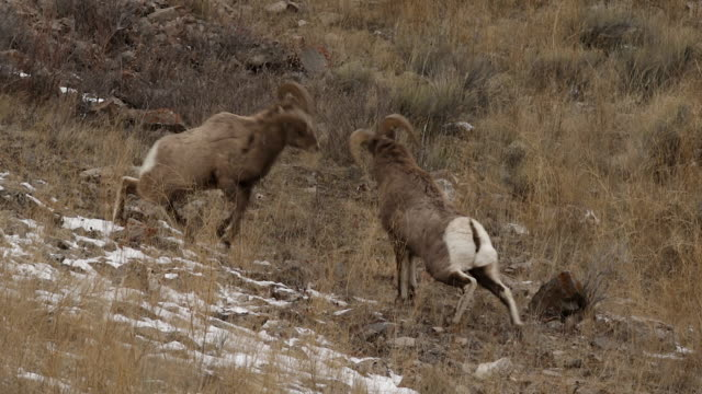 ms  shot of bighorn sheep rams (ovis canadensis) head butting during the december rut - bighorn sheep stock videos & royalty-free footage