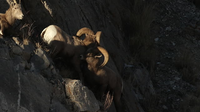 vidéos et rushes de ms td  shot of bighorn sheep rams (ovis canadensis) head butting on a steep rocky cliff during the december rut - paroi rocheuse