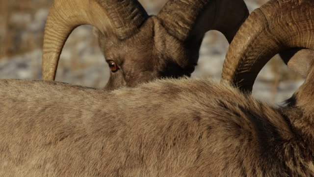 MS TS PL  shot of bighorn sheep rams (Ovis canadensis) interacting during the December rut