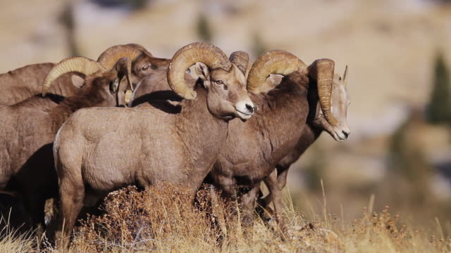 ms shot of bighorn sheep's rams chasing ewe during rut / georgetown, colorado, united states - medium group of animals stock videos & royalty-free footage