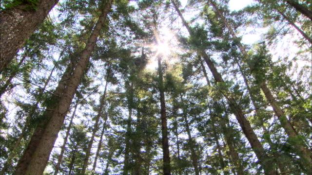 Shot of Birch Tree Forest