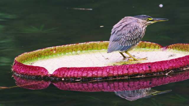 vídeos de stock e filmes b-roll de shot of bird floating on green-and-pink lilly pad in rio. - 2013