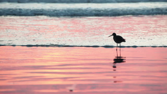 MS Shot of bird standing on beach at sunset as waves comes in / Los Angeles, California, United States
