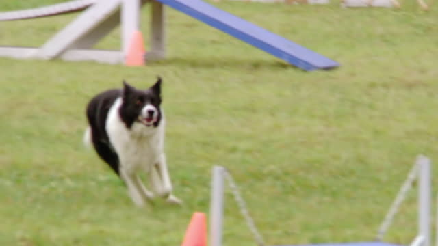 MS TS Shot of Black and white dog goes through series of obstacles during an agility trial competition / Manassas, Virginia, United States