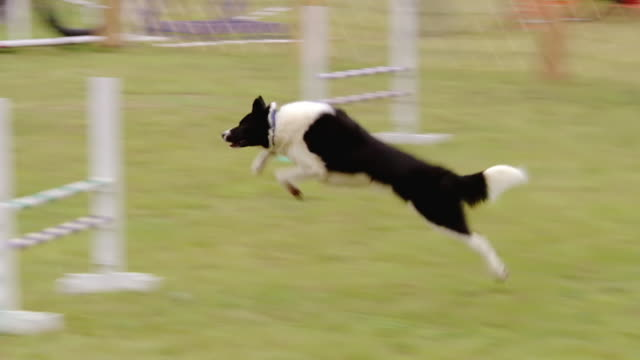 ms ts shot of black and white dog goes through series of obstacles during an agility trial competition / manassas, virginia, united states - hindernisparcours stock-videos und b-roll-filmmaterial