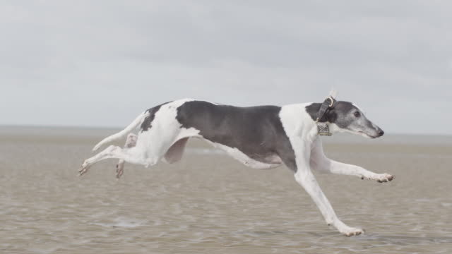 stockvideo's en b-roll-footage met ms ts slo mo shot of black and white greyhound dog running on beach / hunstanton, norfolk, united kingdom - horizon