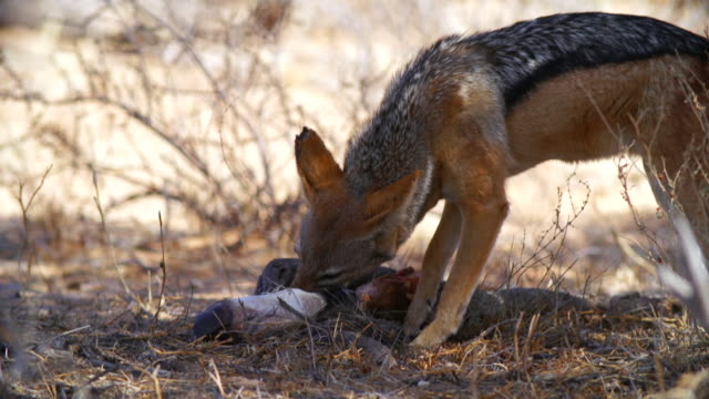 ms shot of black backed jackal feeding on carcass / etosha national park, namibia - carnivora stock videos and b-roll footage