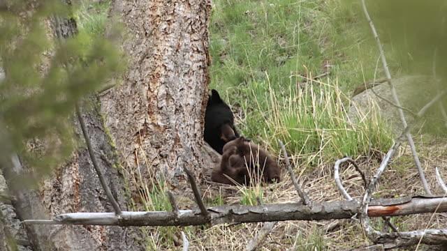 vidéos et rushes de ms ts shot of black bear cubs (ursus americanus) wrestling with each other as mom watches - petit groupe d'animaux