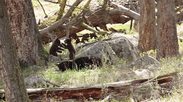 vidéos et rushes de ms  shot of black bear cubs (ursus americanus) wrestling with each other as mom watches - petit groupe d'animaux