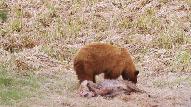 ms pan shot of black bear kills mule deer and drags carcass into forest / moose, wyoming, united states - grizzlybär stock-videos und b-roll-filmmaterial