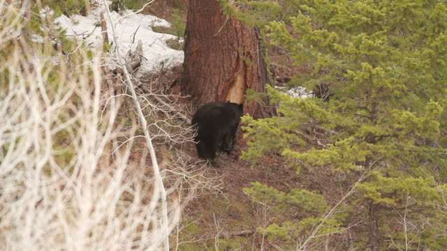 ms shot of black bear rubbing his back on tree bark / tetons, wyoming, united states - rubbing stock videos & royalty-free footage