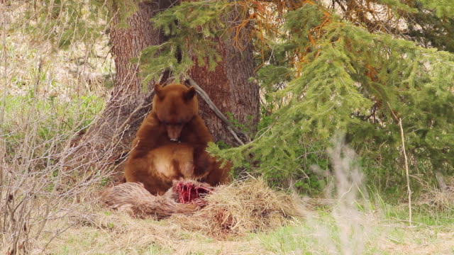 ws shot of black bear sitting down against tree and rests after gorging herself on mule deer carcass / moose, wyoming, united states - mule stock videos & royalty-free footage